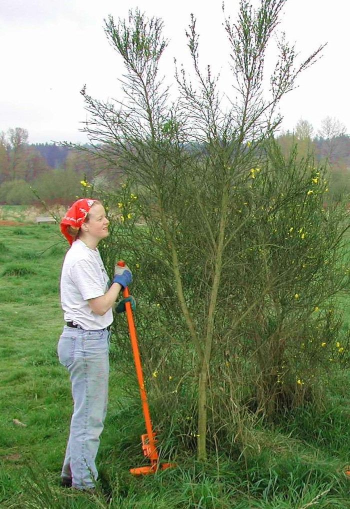 Woman standing next to a Scotch broom holding a weed wrench tool