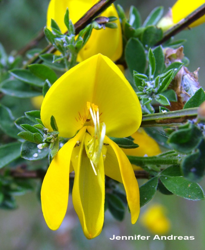 Scotch broom flower open