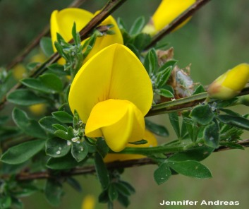 Scotch Broom February 2018 Weed Of The Month Noxious Weeds Blog