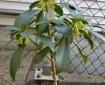 spurge laurel plant with flowers