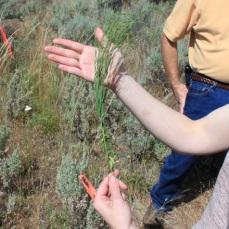 Spurge flax (Thymelaea passerina)