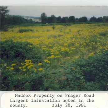 1981 photo of the largest known tansy ragwort infestation in the county from the files of the King County Noxious Weed Control Board