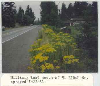 1981 photo of tansy ragwort on Military Road from the files of the King County Noxious Weed Control Board