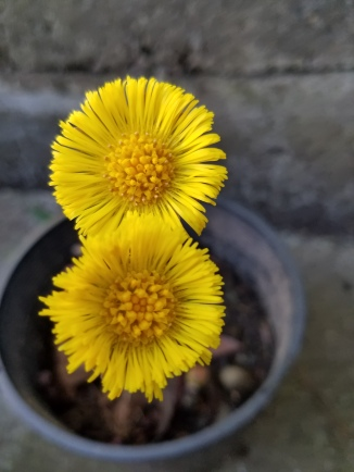 European coltsfoot flowers in early March. Photo by Sasha Shaw.