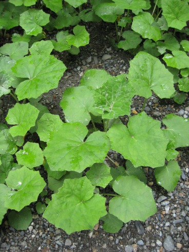 European coltsfoot leaves in June. Photo by Sasha Shaw.