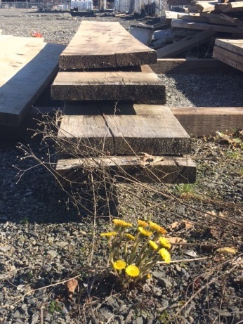 European coltsfoot near a lumber pile. Photo by Tricia MacLaren.