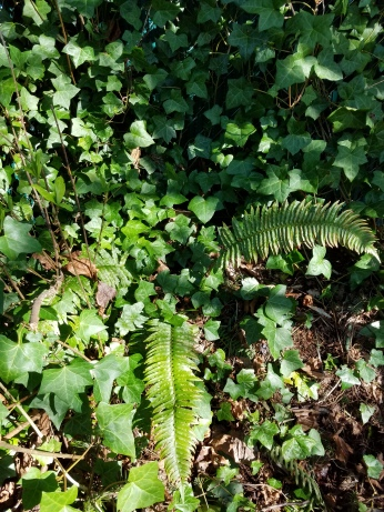 Sword fern trapped by ivy