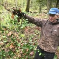 Volunteer removing English holly on Tiger Mountain
