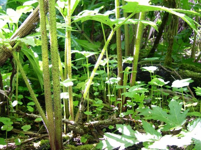 hogweed stems with seedlings emerging below