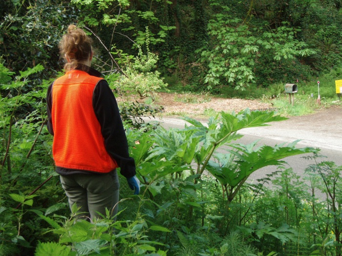 county worker standing by hogweed plants