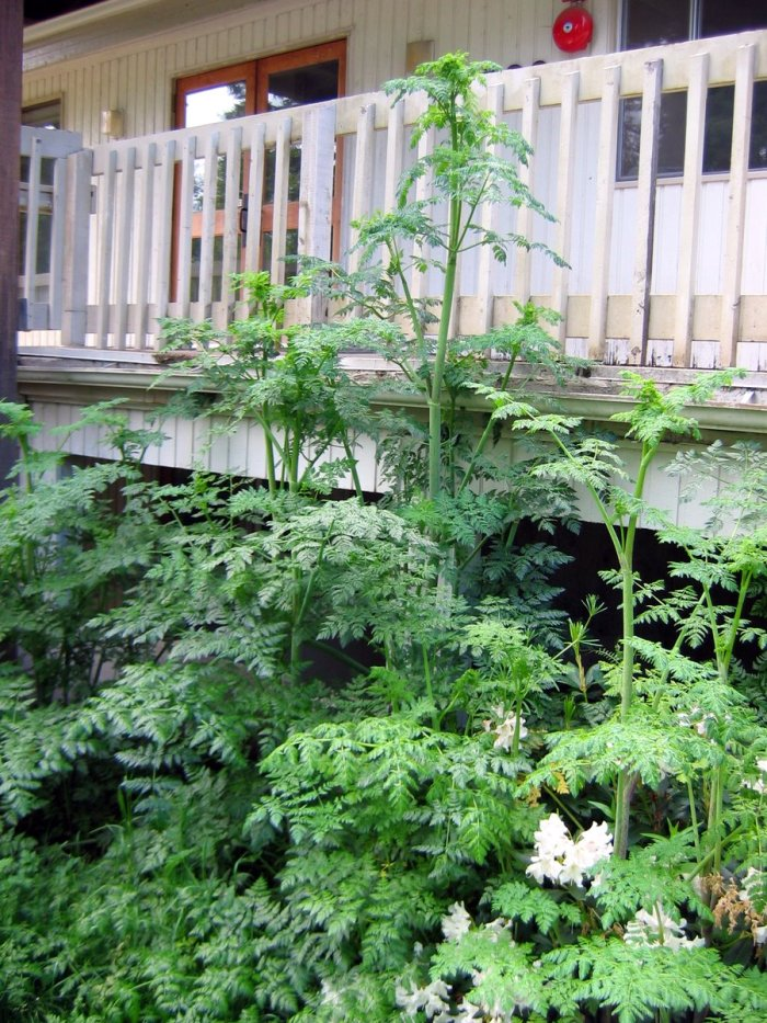 poison-hemlock plant growing near porch
