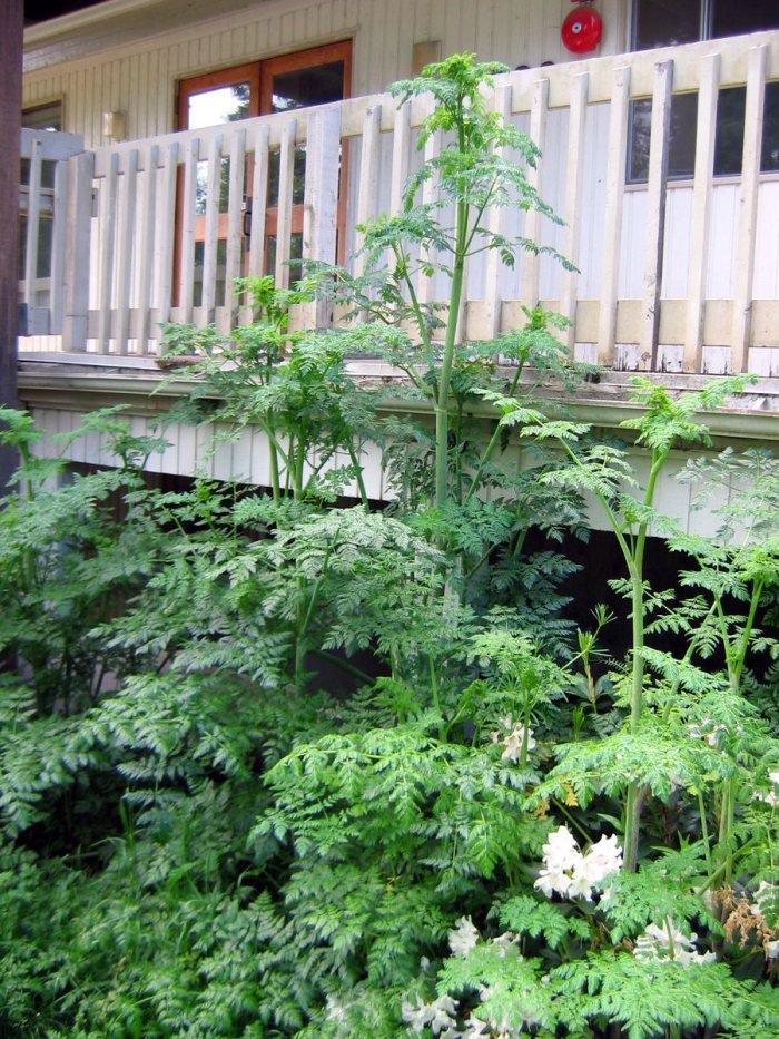 poison-hemlock plant growing near porch