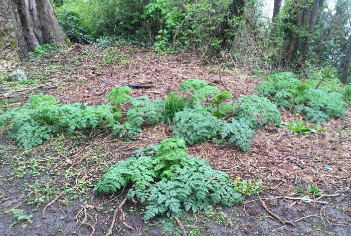 young poison-hemlock plants