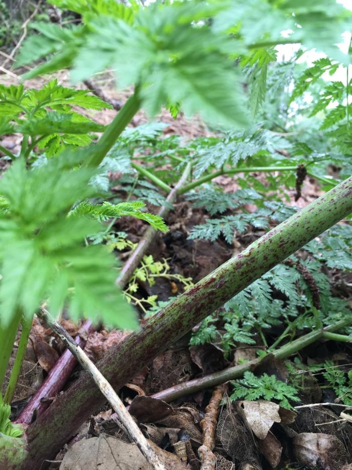 close up of poison-hemlock stems