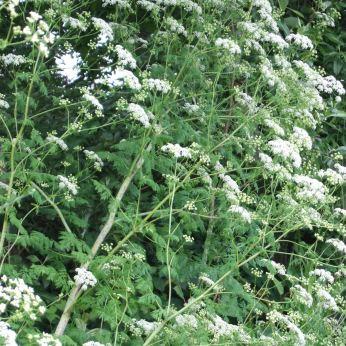 Flowers of poison-hemlock plant