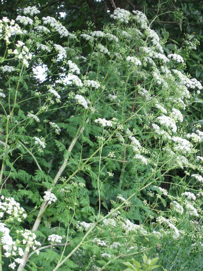 Flowers of poison-hemlock plant