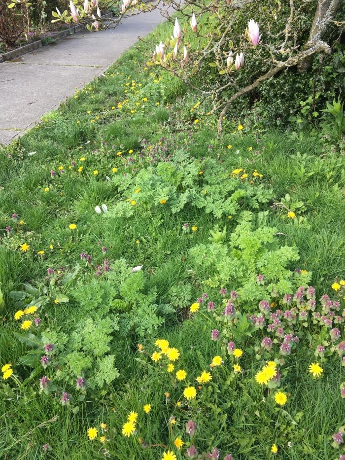 poison-hemlock plants growing in grassy area