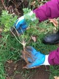 poison-hemlock plant being held in gloved hands