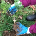 poison-hemlock plant being held in gloved hands