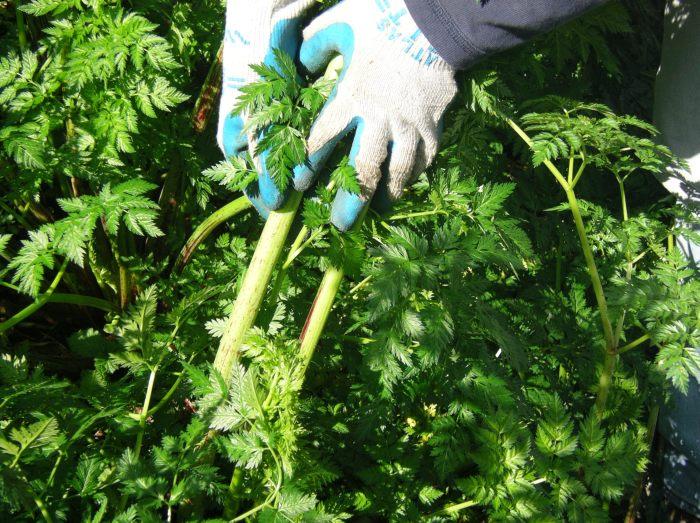 gloved hands holding poison-hemlock stems