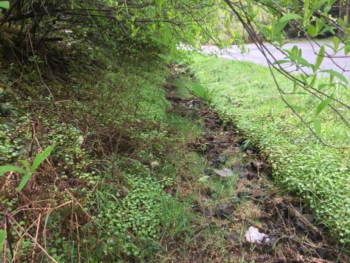shiny-geranium-roadside-infestation-Vashon-04062018-MWinkler