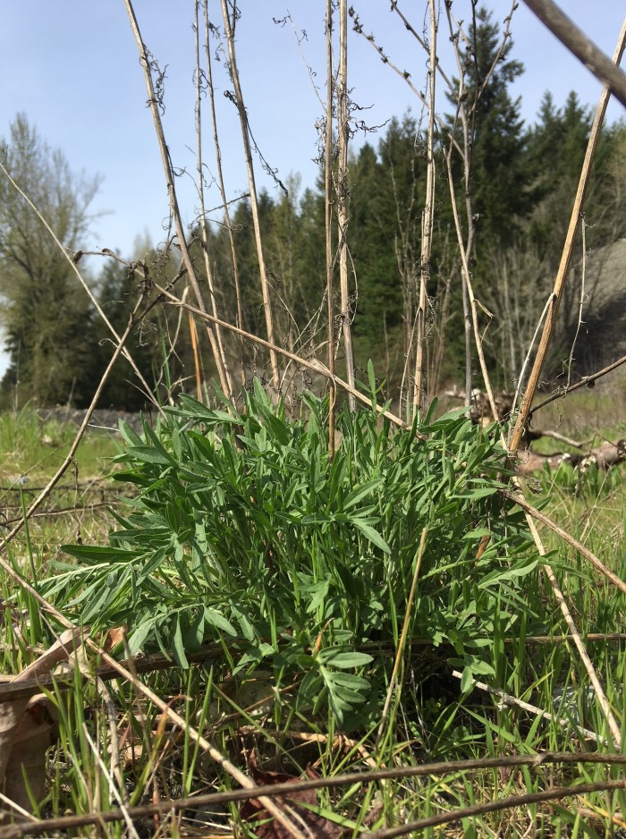 spotted knapweed plant in April with old stems