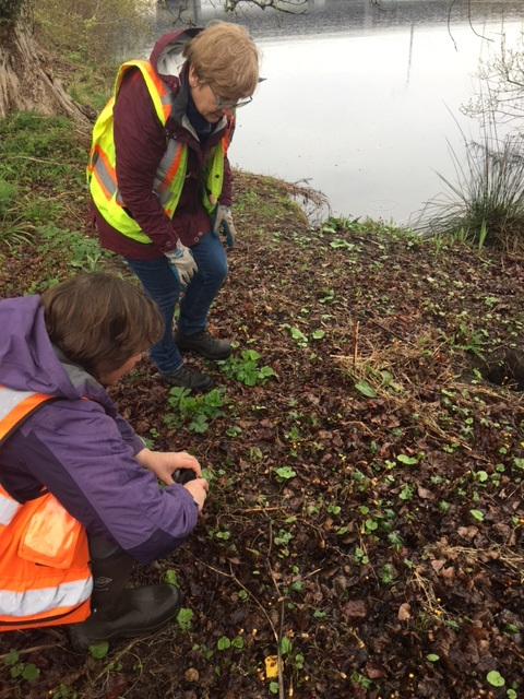 Workers looking at European coltsfoot patch