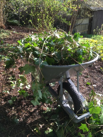 Is there anything as satisfying as a wheelbarrow full of ivy you just pulled? Maybe seeing trees grow free of ivy!