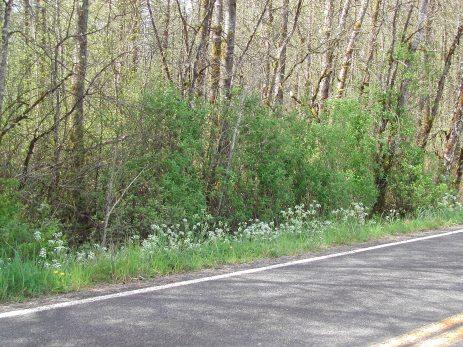 wild chervil flowering on a roadside
