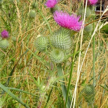 Bull thistle in bloom with one magenta flower head per stem.