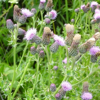 Canada thistle in bloom showing clusters of flowers at stem ends.