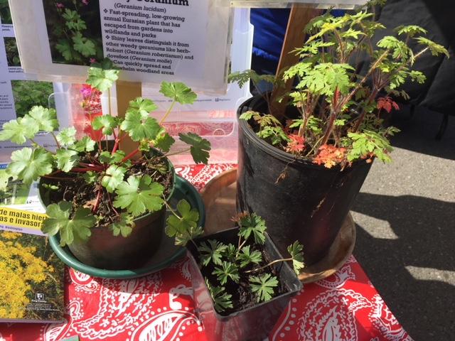 three weedy geraniums in pots