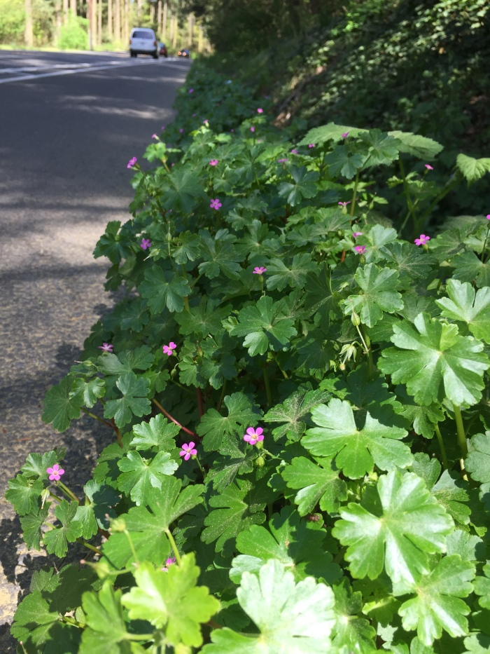 flowering shiny geranium on the edge of a road