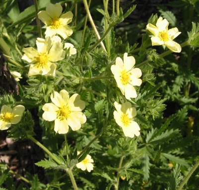 Sulfur cinquefoil's light yellow flowers with 5 heart-shaped petals.