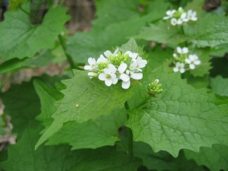 Garlic mustard's small, white, 4-petaled flowers.