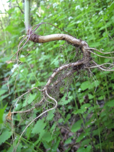 "Garlic mustard has a distinct ""s""-shaped root."