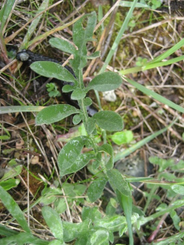 Spotted knapweed's medium-green, somewhat silver-gray, often deeply lobed leaves.