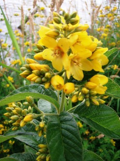 Garden loosestrife produces clusters of bright yellow flowers with 5 petals joined at the base.