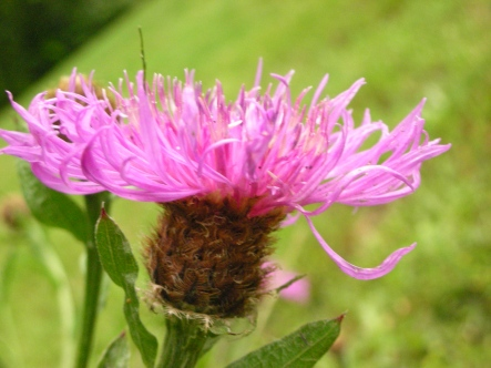 Meadow knapweed's oval flower heads with pink to reddish-purple flowers grow singly on stems. Bracts at base of flower head have comb-like fringes near their tips.