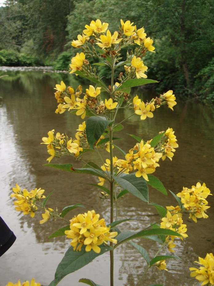 Garden loosestrife thrives in wet areas.