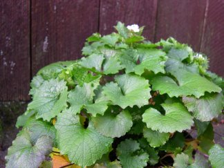 Garlic mustard rosette leaves are more rounded or kidney-shaped, while mature plants have more triangular leaves. All leaves are lobed.