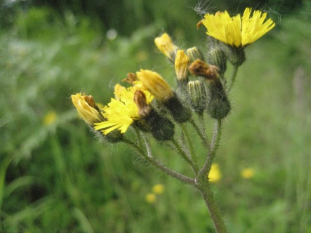 Yellow hawkweed flowers.