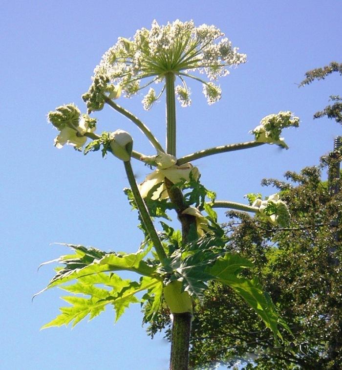 hogweed-flowering-bluesky