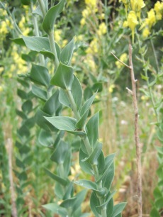 Dalmatian toadflax's leaves wrap around the stem.