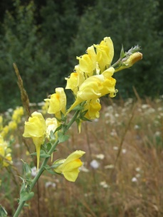 Dalmatian toadflax's bright yellow, snapdragon-like flowers.