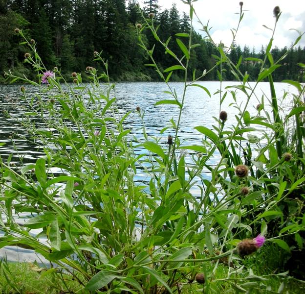 meadowknapweed-bylake
