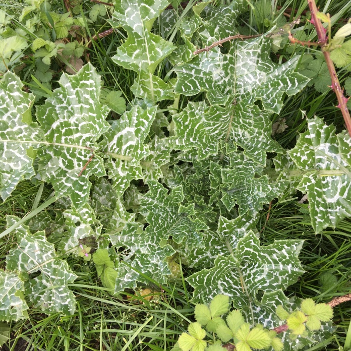 Milk thistle's characteristic shiny green leaves with milky-white marbling. Photo by Dan Sorensen.