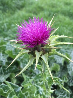 Milk thistle's large, pink-purple flower head with broad, spiny bracts around its base. Photo by Dan Sorensen.