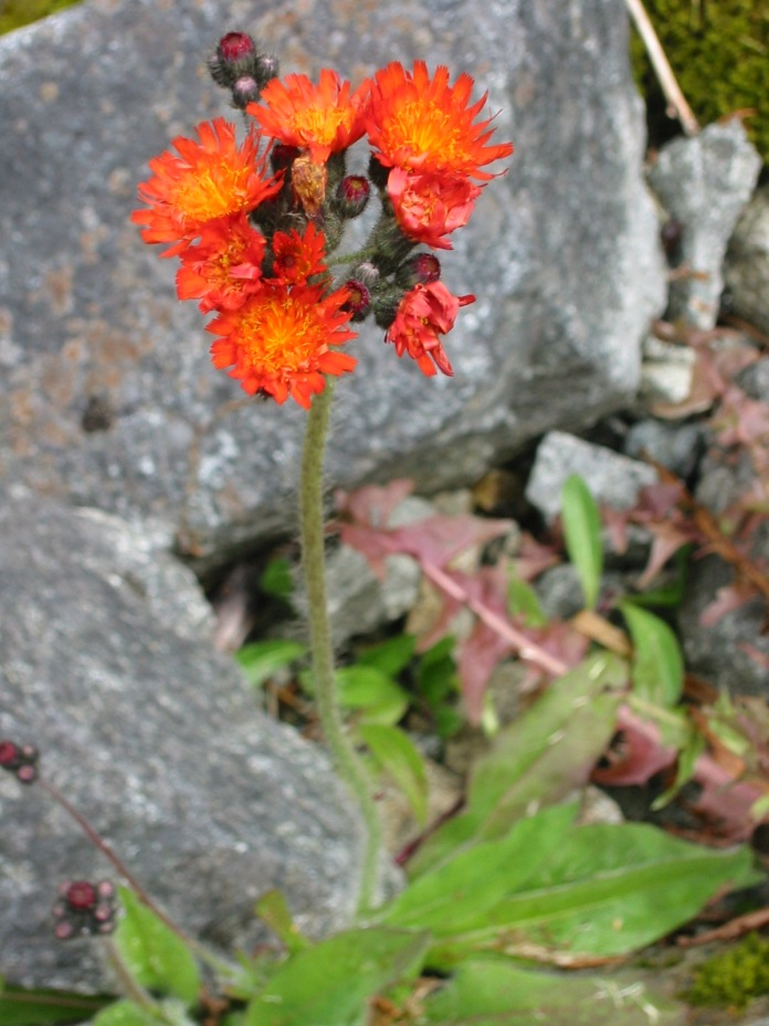 Orange hawkweed flowers, black, ball-shaped, clustered buds, and hairy stem.
