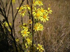 Tansy ragwort's daisy-like flowers with 13 yellow ray petals and orange-yellow centers.